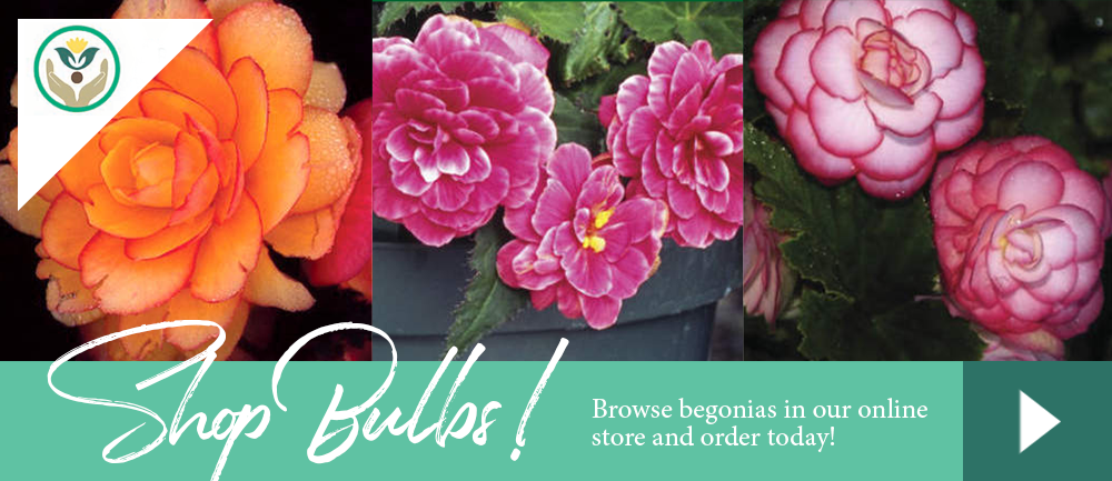 Begonia Bulbs shop online store varieties growing gardening planting