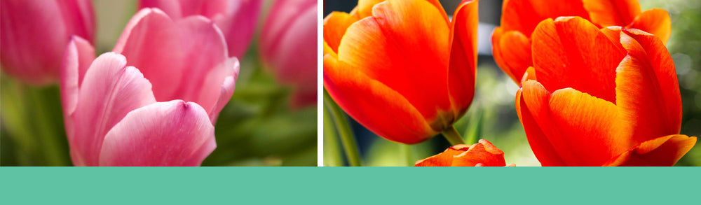 Pink and orange tulips - how to grow tulips