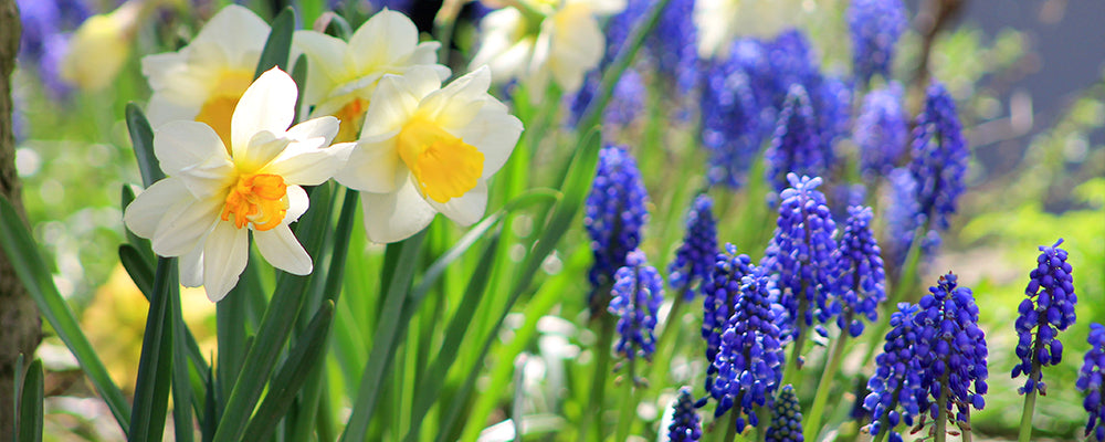brent-and-becky-answer-your-questions-daffodils-hyacinths