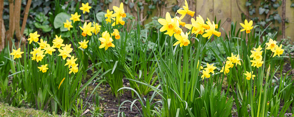 brent-and-becky-answer-your-questions-daffodils