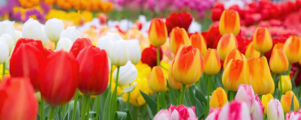 brent-and-becky-bulbs-more-podcast-questions-multicolored-tulips