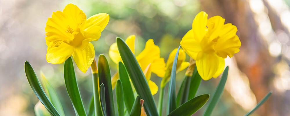brent-and-becky-bulbs-more-podcast-questions-pure-yellow-daffodils