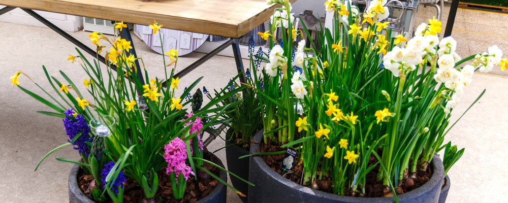 brent-and-becky-bulbs-planning-fall-plantings-daffodil-mixed-containers