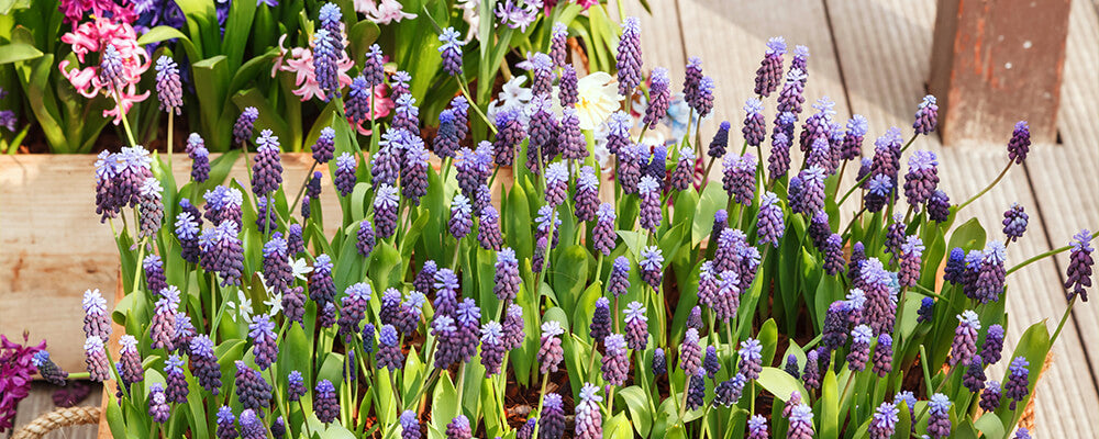 brent-and-becky-bulbs-planning-fall-plantings-muscari-container