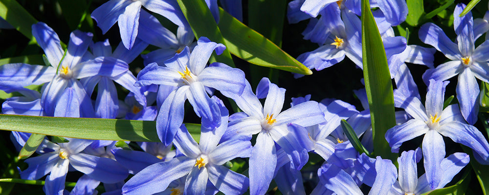 brent-and-becky-naturalizing-Chionodoxa