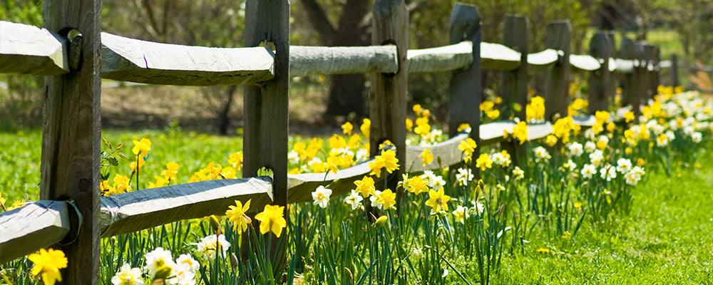 brent-and-becky-naturalizing-daffodil-fence