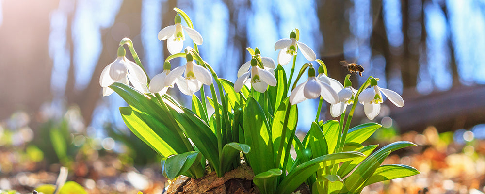 brent-and-becky-naturalizing-snowdrop-galanthus
