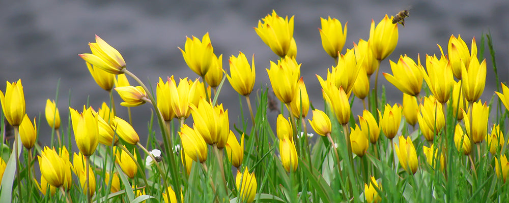 brent-and-becky-naturalizing-tulipa-sylvestris