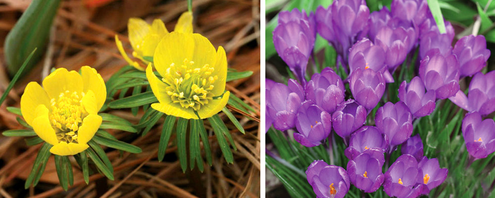 staggered-blooming-crocuses-buttercups
