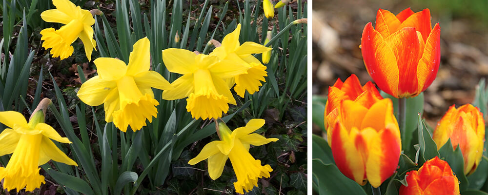 staggered-blooming-daffodils-tulips