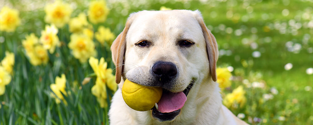brent-becky-impact-of-bulbs-dog-with-ball-and-daffodils