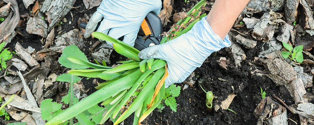 brent-becky-pruning-bulb-leaves-person-pruning-hycinth