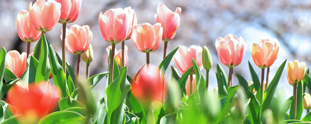 brent-becky-pruning-bulb-leaves-pink-tulips-with-foliage