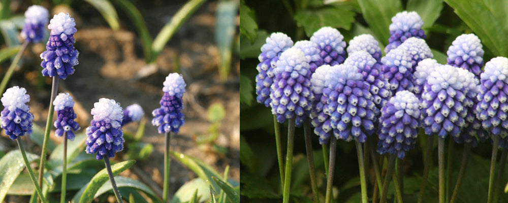 fall-catalogue-brent-and-becky-Muscari