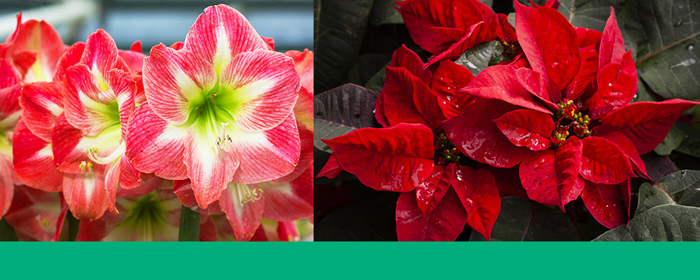 gifting-plants-for-the-holidays-amaryllis-poinsettia-header