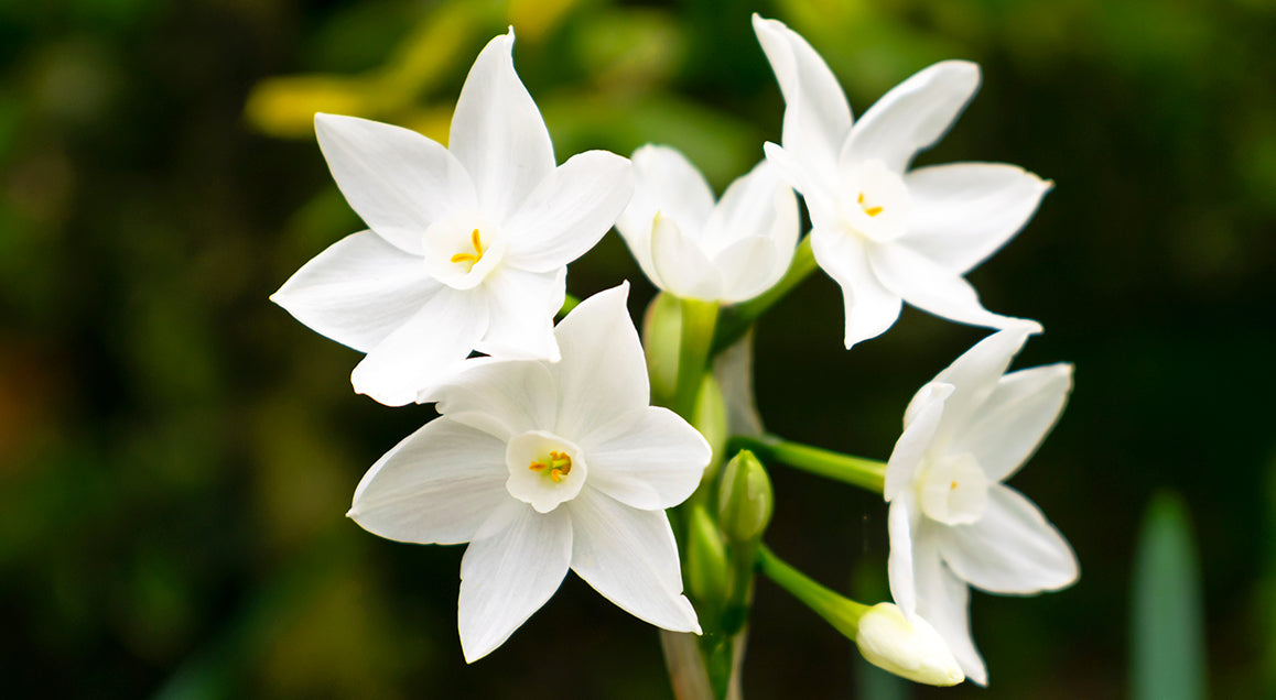 gifting-plants-for-the-holidays-paperwhites