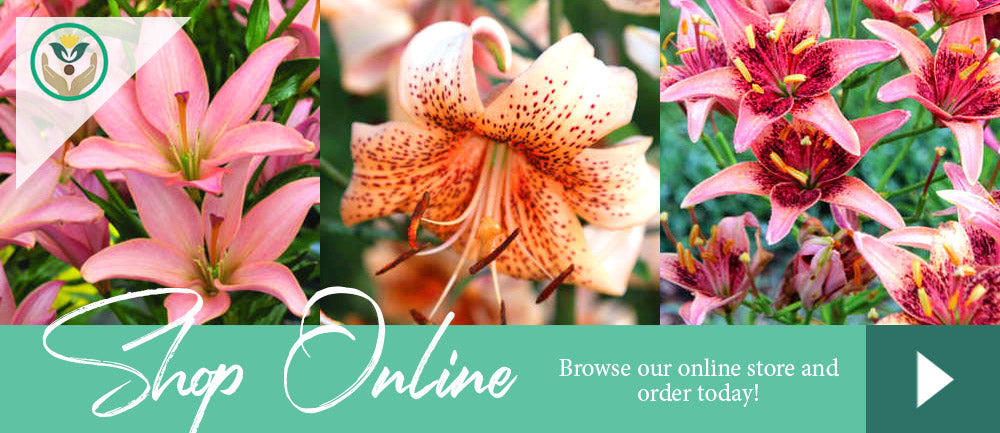 Lily Store - Brent and Becky's Bulbs - Buy Online Gardening Supplies and Bulbs