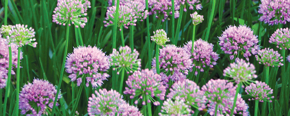 preview-our-spring-planted-catalogue-allium-millenium