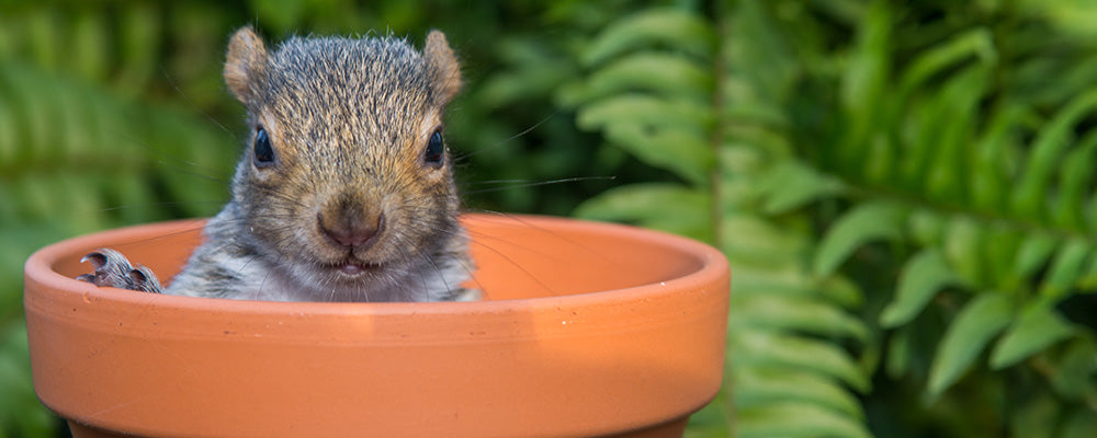 protect bulbs from squirrels pot