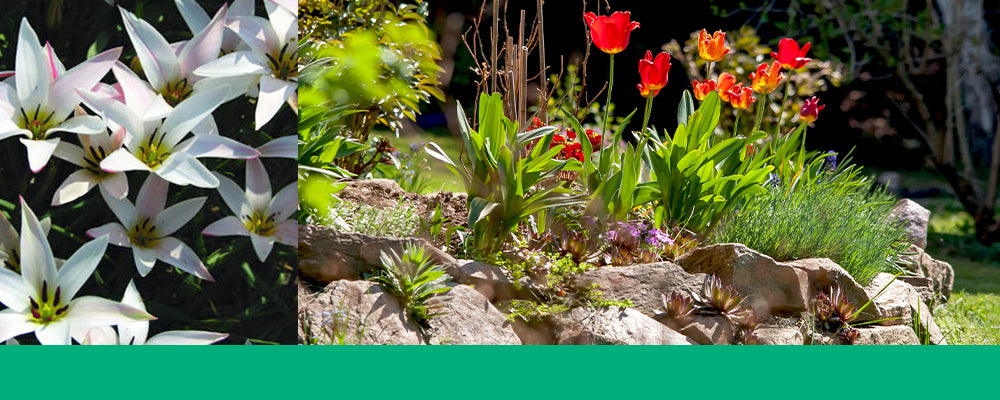 tulips-for-rock-gardens-clusiana-stellata-and-red-header