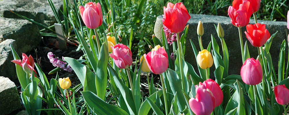 tulips-for-rock-gardens-colorful-tulips-and-rocks