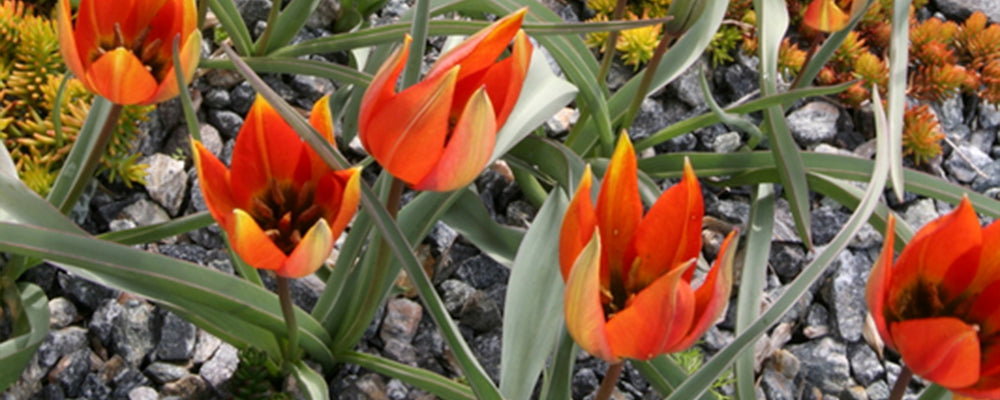 tulips-for-rock-gardens-whittallii-red