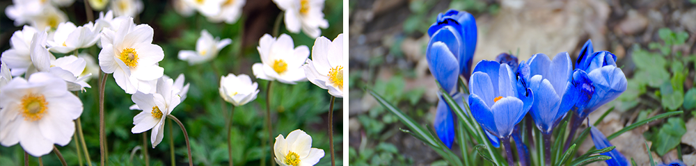white anemone blue crocus pollinator mix bulb collection