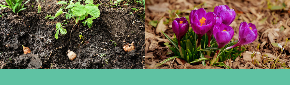 Fall planting bulbs in soil and purple crocus