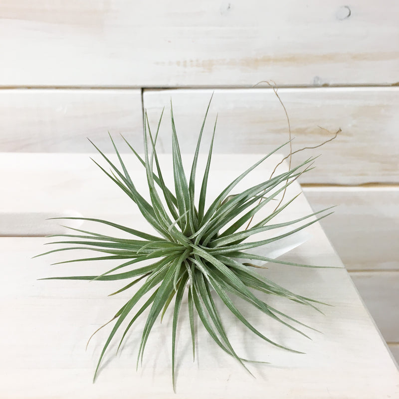 Stricta Stiff Purple