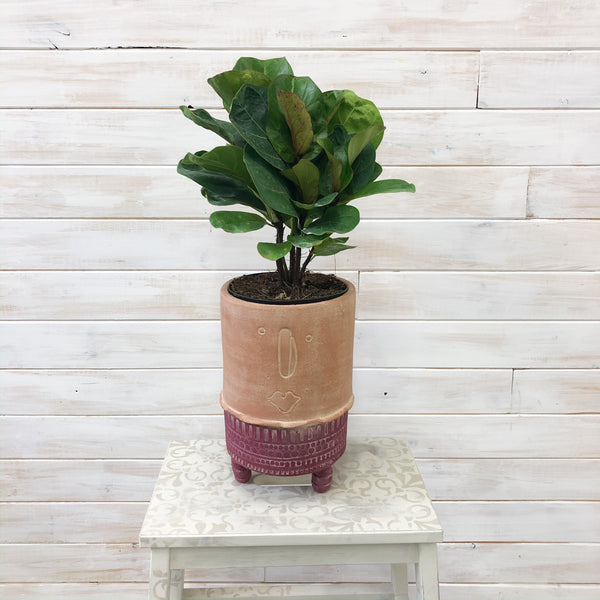 "6"" Fiddle Leaf Fig (Bush)"