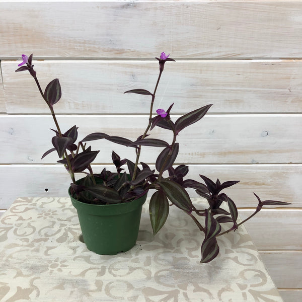 "4"" Wandering Jew Burgundy"