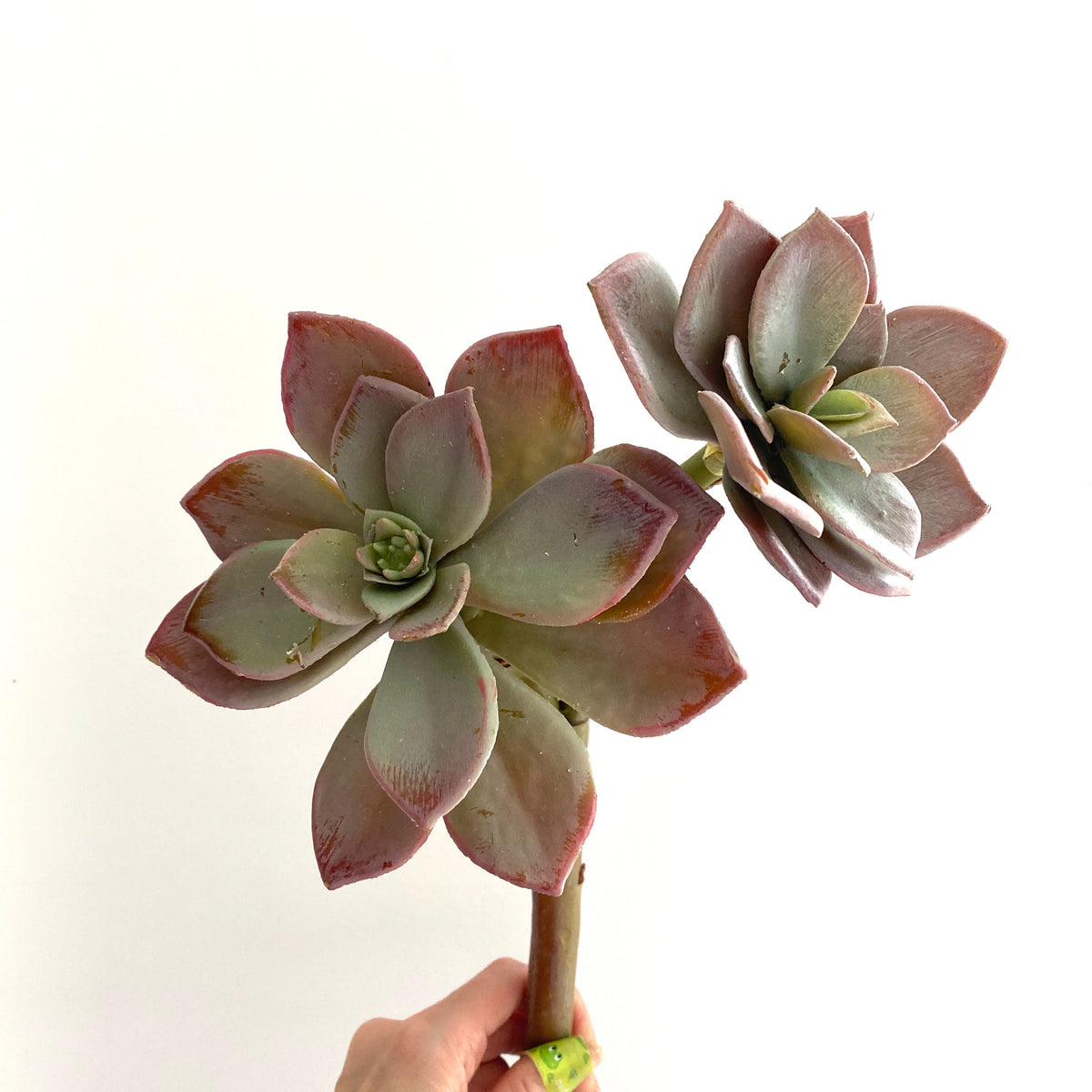Graptosedum ghost 14""