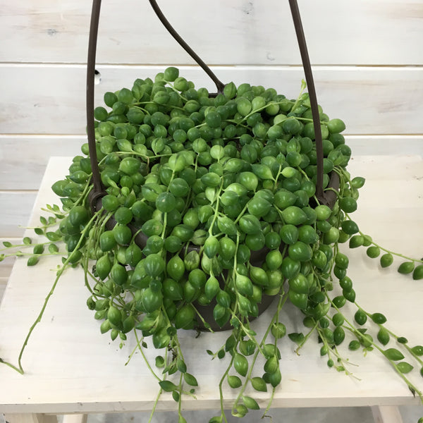 "6"" String of Pearls hanging basket"