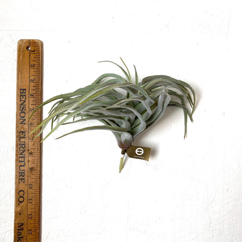 Tillandsia Harrisii 12""