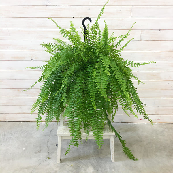 "10"" Boston Fern"