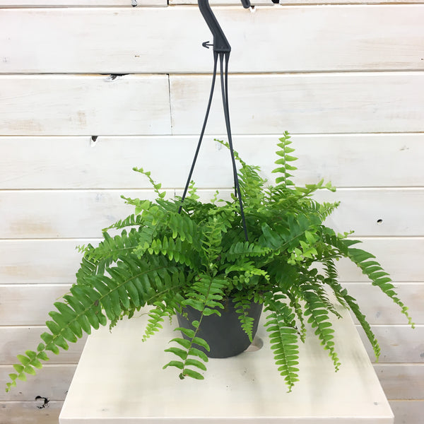 "6"" Boston Fern"