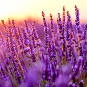 Lavender | Pure Essential Oil