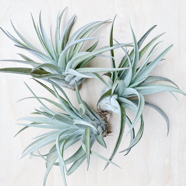 Wild Air Plant - Tillandsia Harrisii - Large