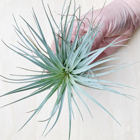 Wild Air Plant - Tillandsia Houston Red Princess - Medium