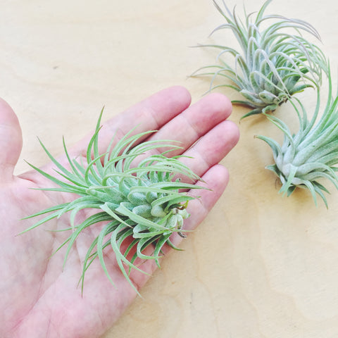 Air Plant - Ionantha Rubra - Medium