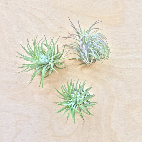 Wild Air Plant - Ionantha Rubra - Medium
