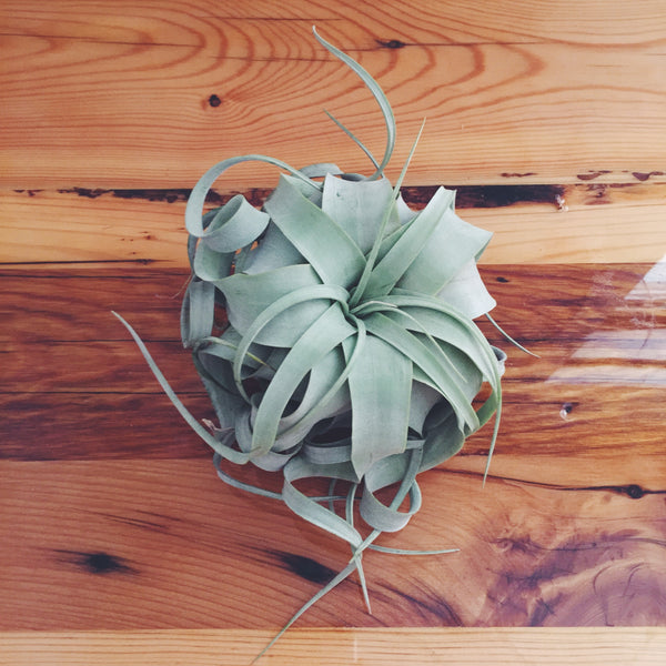 Wild Air Plant - Tillandsia Xerographica - Small