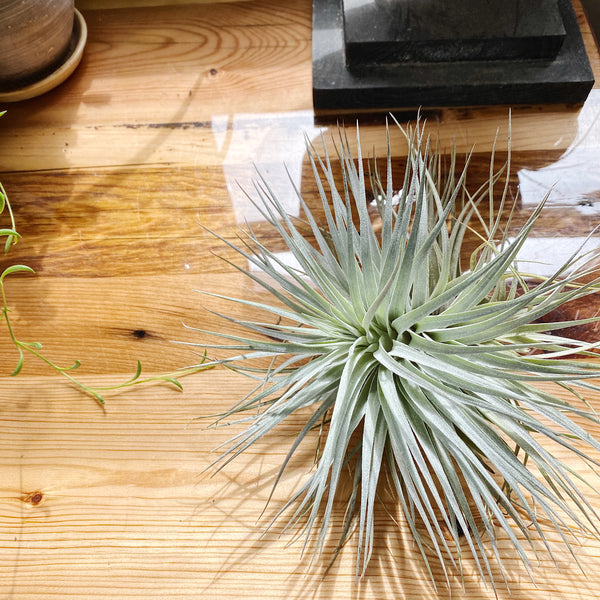 Wild Air Plant - Tillandsia Houston Red Princess - Large