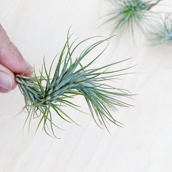 Wild Air Plant - Tillandsia Funkiana - Small