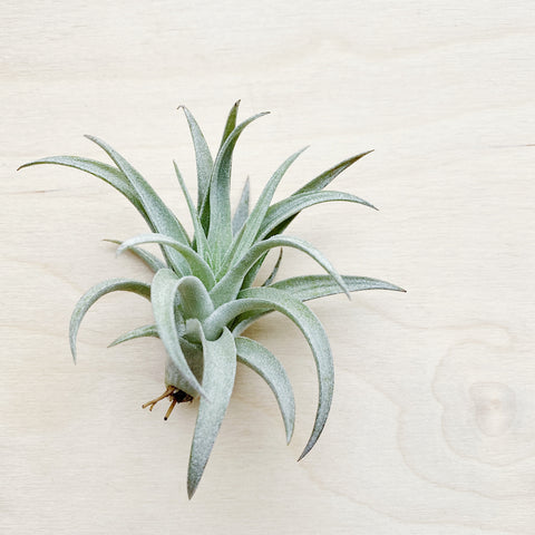 Wild Air Plant - Tillandsia Harrisii - Small