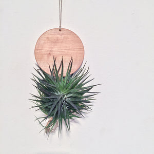 Modern Air Plant Wall Hanging - Sonny