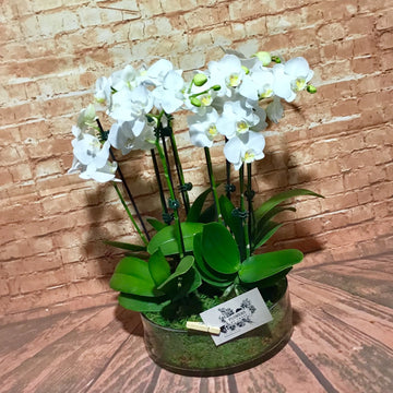 Phalaenopsis orchid in a glass bowl.