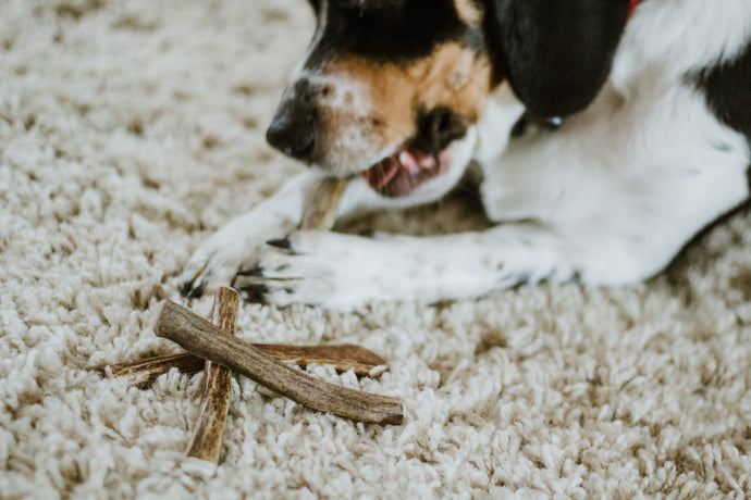Beagle chewing on antler sticks