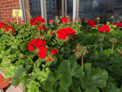 "7.5"" Cutting Geraniums - Brennans Market"