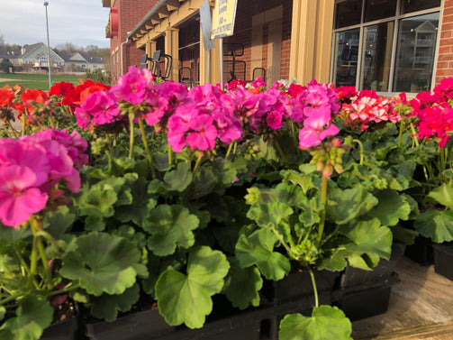 "4.5"" Cutting Geraniums - Brennans Market"